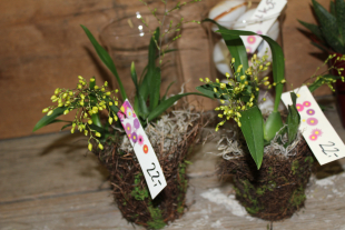 Mini Oncidium Orchidee